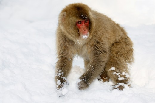 Close-up of a Japanese Macaque standing on a polar landscape (Macaca fuscata) : Stock Photo
