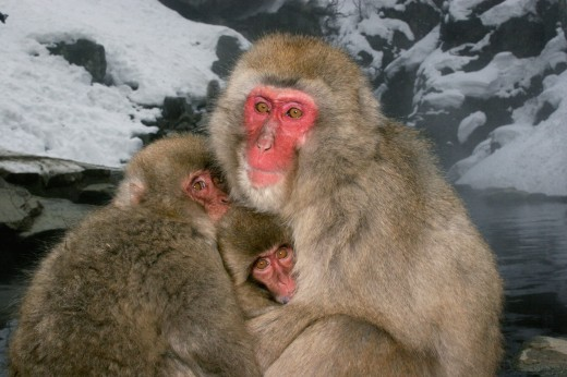 Close-up of a Japanese Macaque sitting with its young one (Macaca fuscata) : Stock Photo