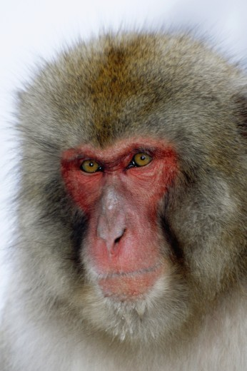 Stock Photo: 1574R-24410 Close-up of a Japanese Macaque (Macaca fuscata)