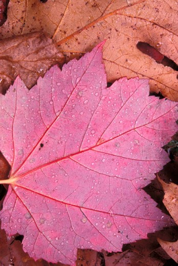 Close-up of dry sugar maple leaves (Acer saccharum) : Stock Photo