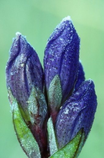 Close-up of Blue Gentian flowers, Olallie Lake Scenic Area, Oregon, USA (Gentiana crinita) : Stock Photo