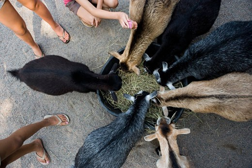 Stock Photo: 1574R-29270 Overhead view of goats eating hay from a basket while teenage girls standing by them