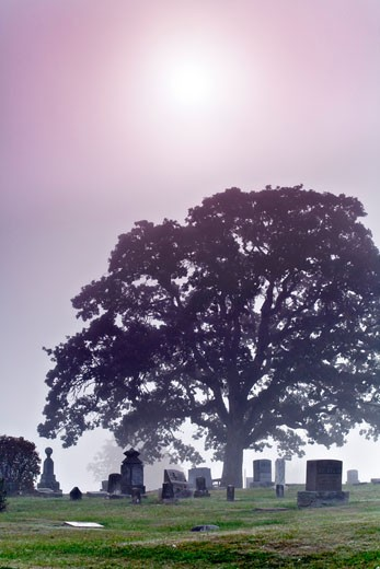 Stock Photo: 1574R-35391 Tree in a cemetery, Willamette Valley, Oregon, USA
