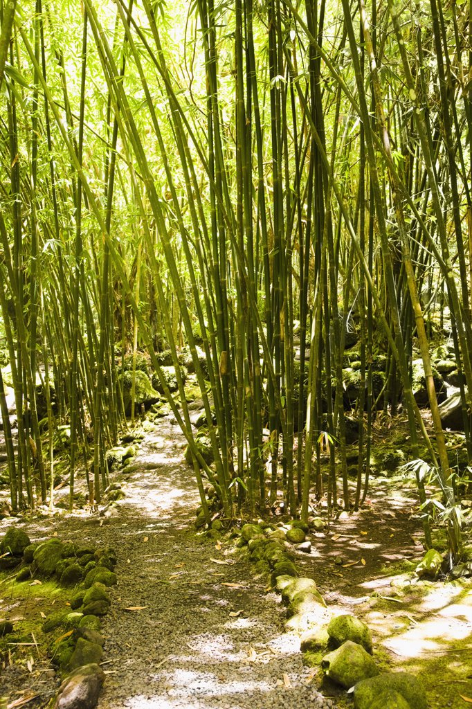 Stock Photo: 1574R-36896 Bamboo trees in a forest, Papeete, Tahiti, French Polynesia