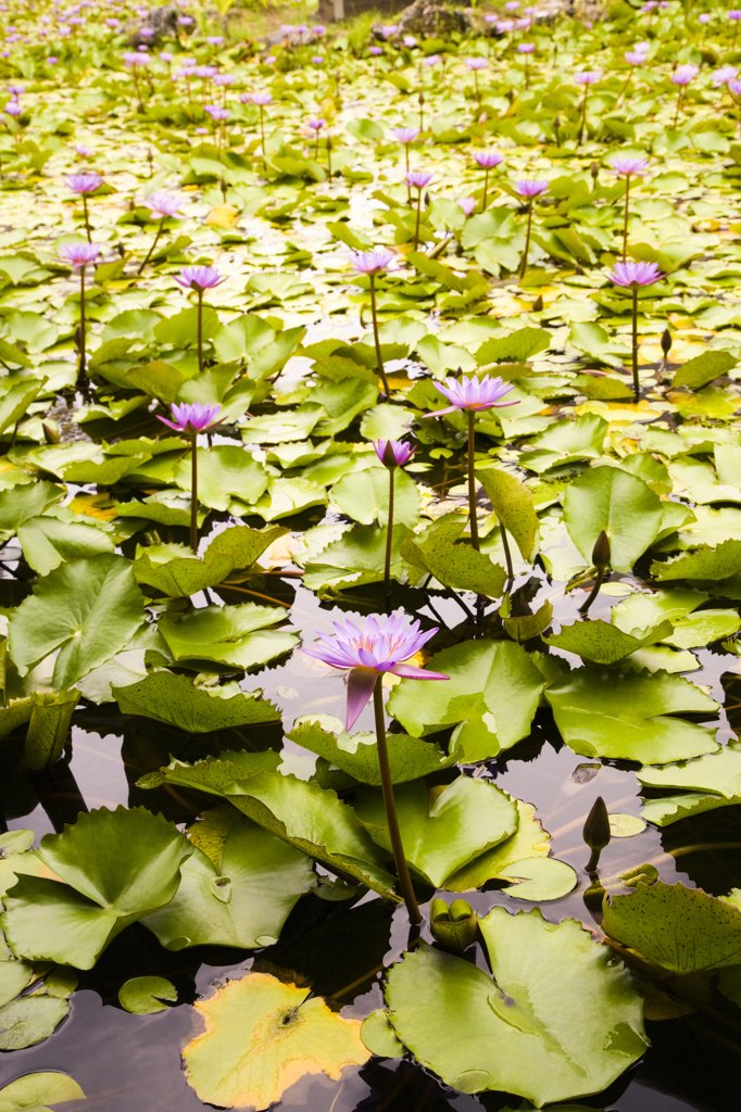 Water lilies in a pond, Bora Bora, Tahiti, French Polynesia : Stock Photo