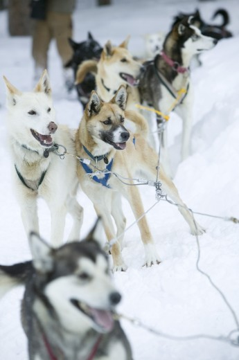 Stock Photo: 1574R-36973 Alaskan huskies standing on snow, Jackson, Wyoming, USA