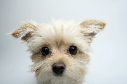Stock Photo: 1574R-37019 Close-up of a mixed breed puppy