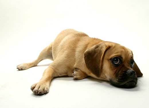 Stock Photo: 1574R-37043 Puggle puppy resting