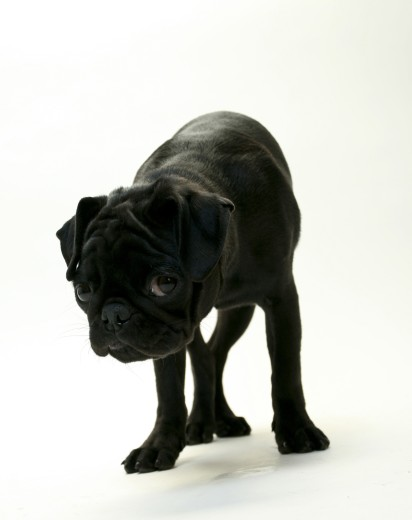 Close-up of a black Pug puppy : Stock Photo