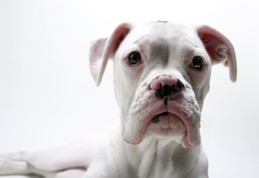 Close-up of a white Boxer puppy : Stock Photo