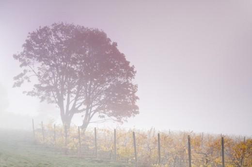 Stock Photo: 1574R-37144 Fog over a vineyard, Willamette River, Oregon, USA