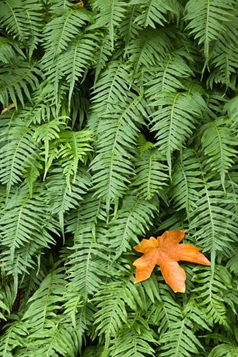 Stock Photo: 1574R-37150 Close-up of Licorice Fern (Polypodium glycyrrhiza), Columbia River Gorge, Oregon, USA
