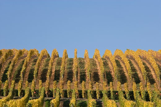 Vines in a vineyard, Archery Summit Winery, Willamette Valley, Oregon, USA : Stock Photo