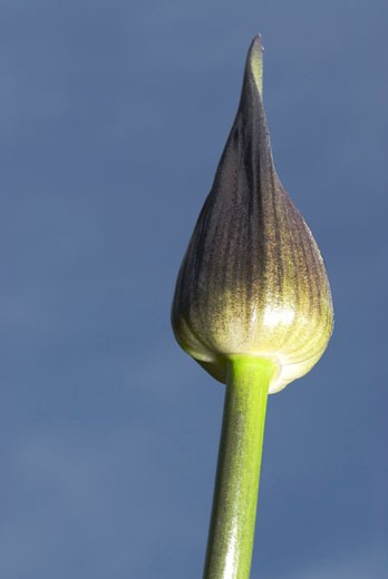 Close-up of a Alliaceae flower bud : Stock Photo