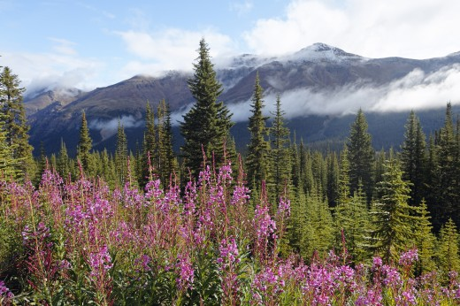 Blooming Fireweed in the Canadian Rockies, Alberta, Canada : Stock Photo