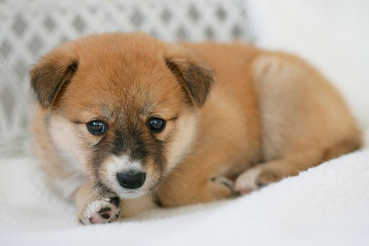 Close-up of a puppy sitting on a couch : Stock Photo
