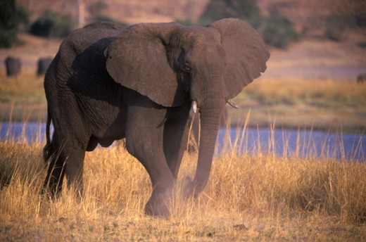Elephant, Chobe National Park, Botswana : Stock Photo