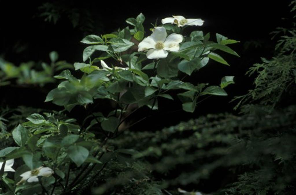 Stock Photo: 1575-3467 Dogwood Tree in bloom, Bowen Island, British Columbia