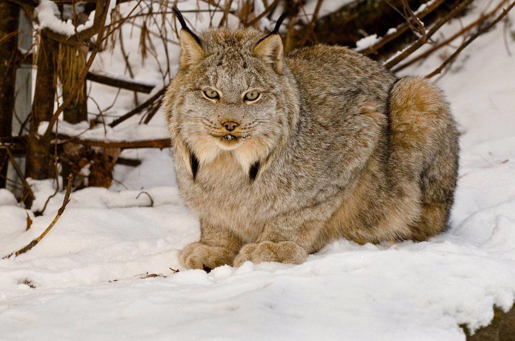 Lynx Lynx canadensis, Muskoka Wildlife Centre, Ontario : Stock Photo