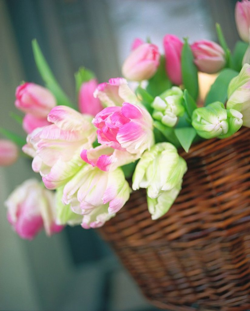 basket of tulips : Stock Photo