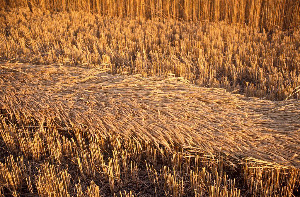 Stock Photo: 1575-7293 Prairie wheat field, Drumheller, Alberta, Canada