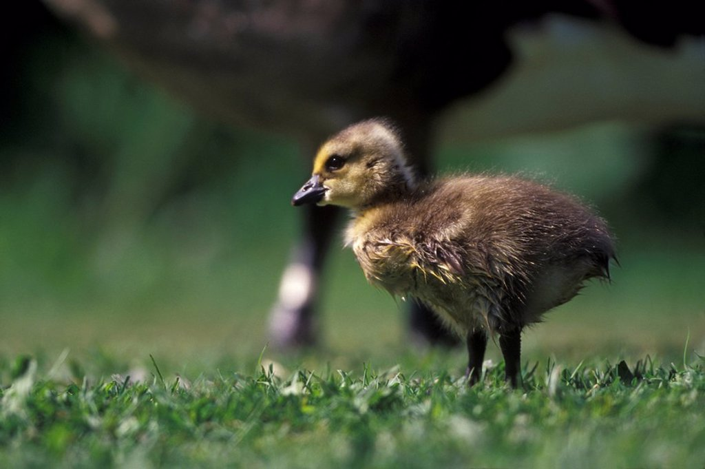 Goose goslings, Reifel Bird Sanctuary, Westham Island, British Columbia, Canada : Stock Photo