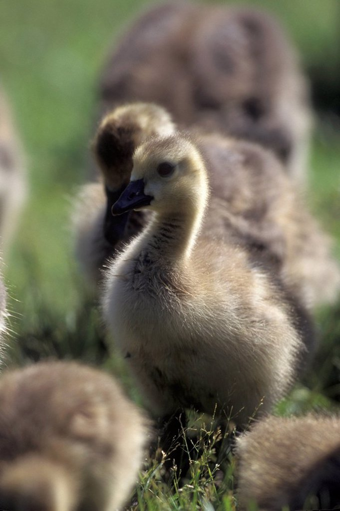 Goose goslings, Reifel Bird Sanctuary, Westham Island, British Columbia, Canada : Stock Photo