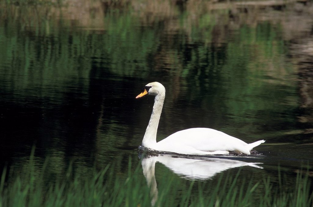 Swan, Rideau River, Ottawa, Ontario, Canada : Stock Photo