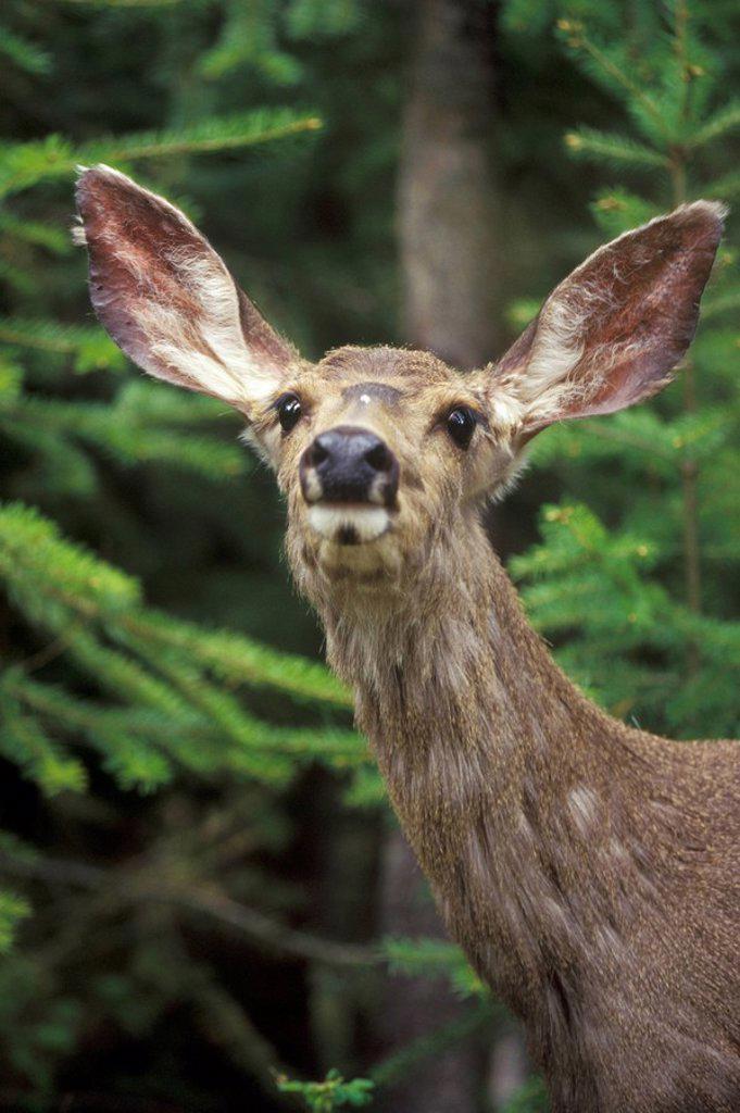 Mule Deer, Manning Provincial Park, British Columbia, Canada : Stock Photo
