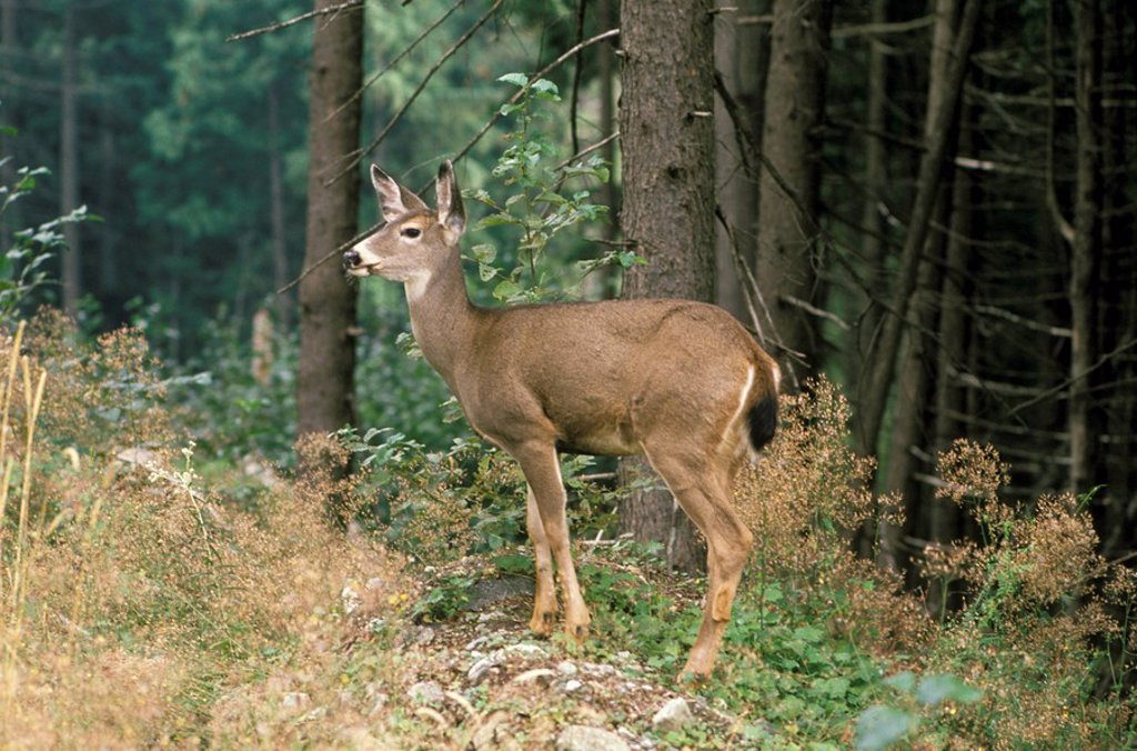 Stock Photo: 1575-7606 Black Tail Deer, Grouse Mountain, North Vancouver, British Columbia, Canada