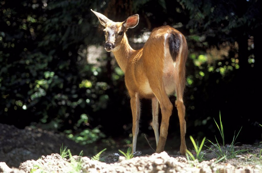 Deer on Salt Spring Island, British Columbia, Canada : Stock Photo