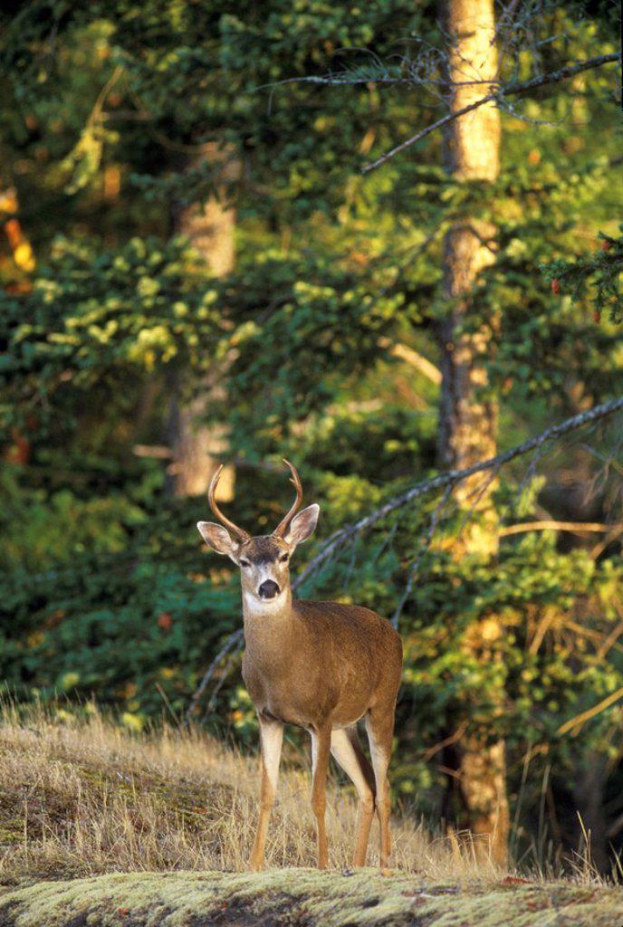 Mule Deer, Pender Island, British Columbia, Canada : Stock Photo