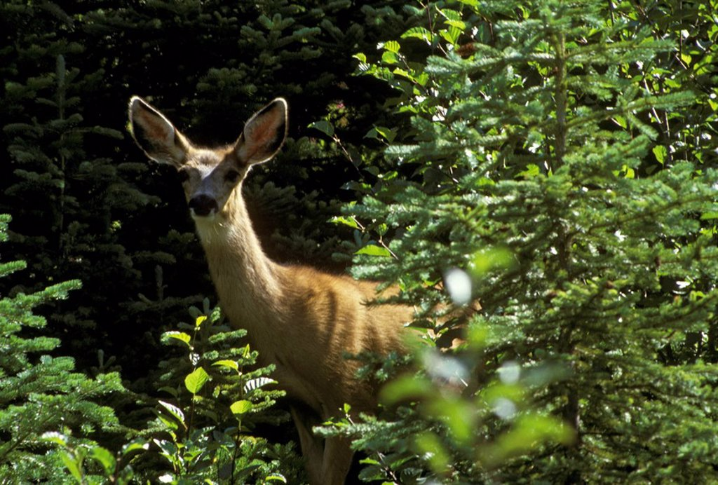 Stock Photo: 1575-7635 White_tailed deer, East Kootenays, British Columbia, Canada