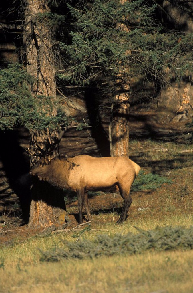 Elk, British Columbia, Canada Rockies : Stock Photo