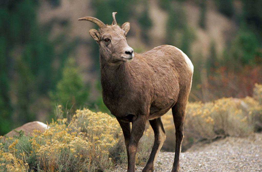 Stock Photo: 1575-7668 Big horn sheep, Radium Hot Springs, British Columbia, Canada