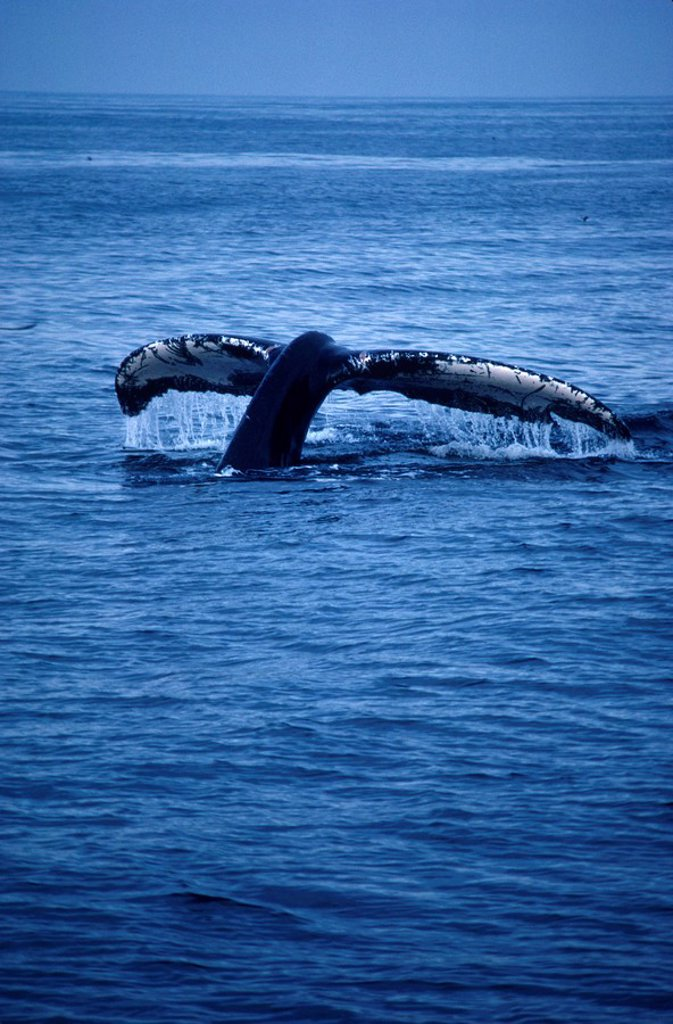 Stock Photo: 1575-7811 Whale, British Columbia, Canada