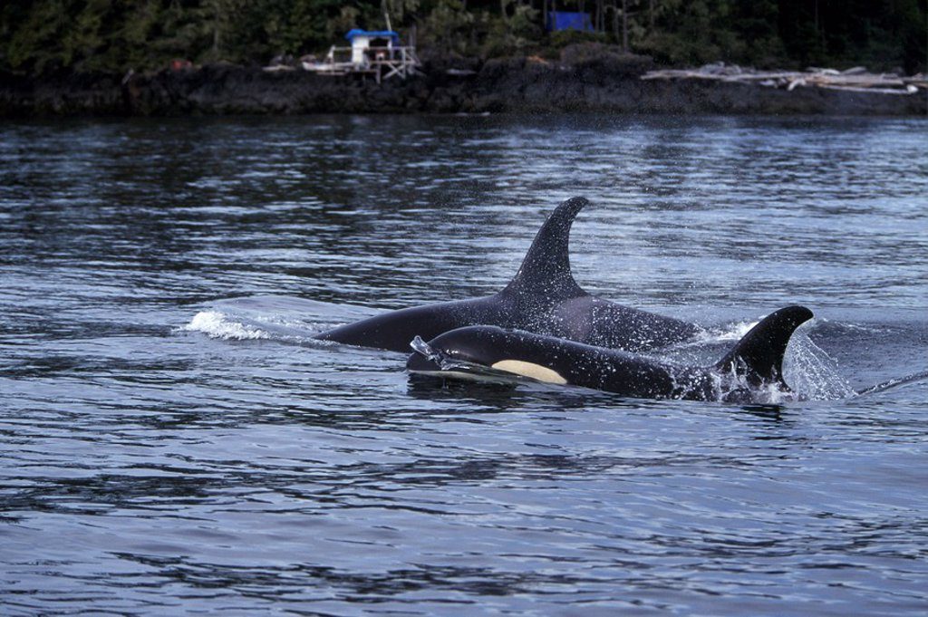 Orca, Killer Whales, Johnstone Straight, British Columbia, Canada : Stock Photo