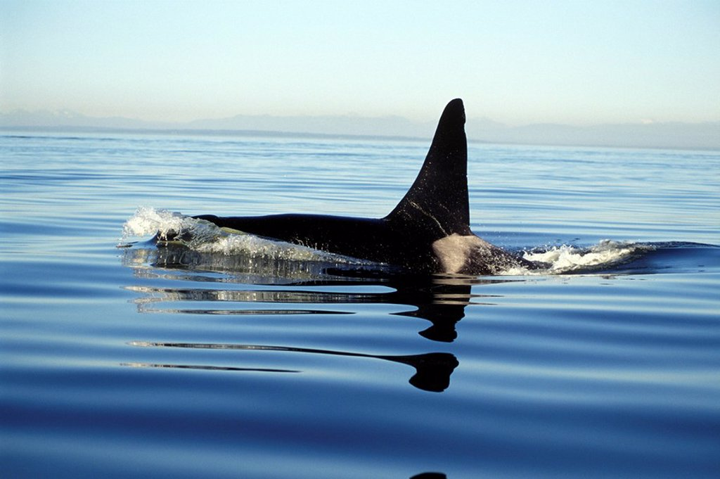 Orca, Killer whales off Vancouver Island, British Columbia, Canada : Stock Photo