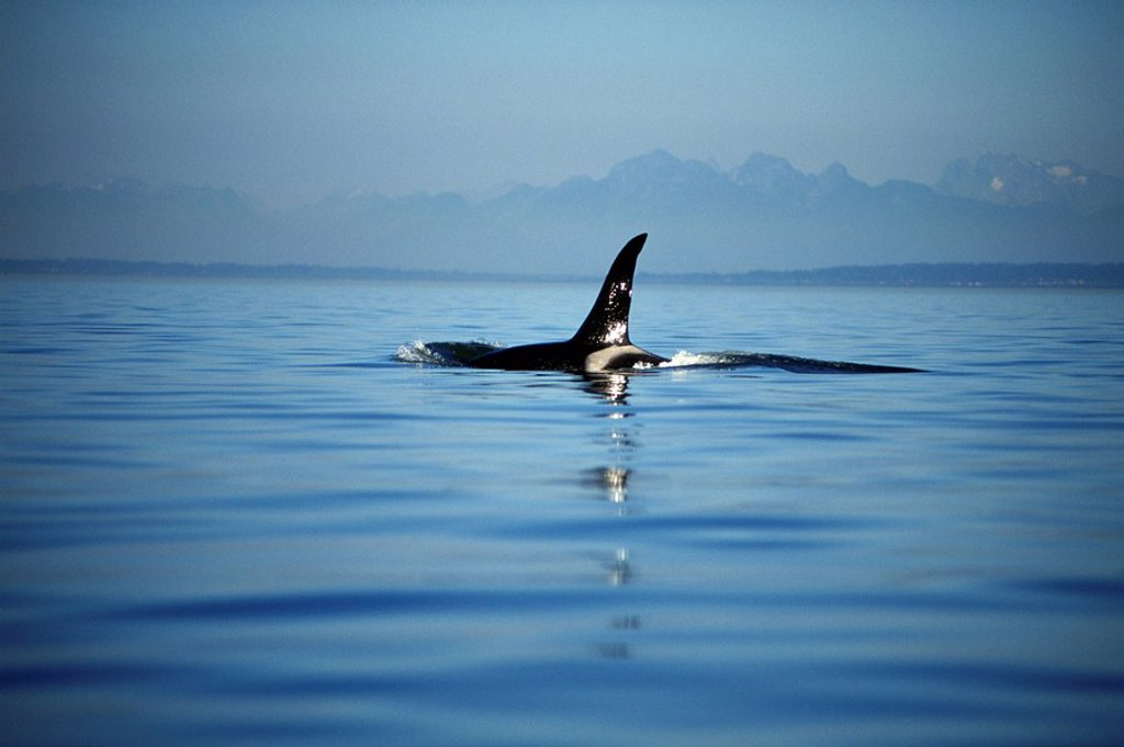 Orca, Killer whales off Victoria, Vancouver Island, British Columbia, Canada : Stock Photo