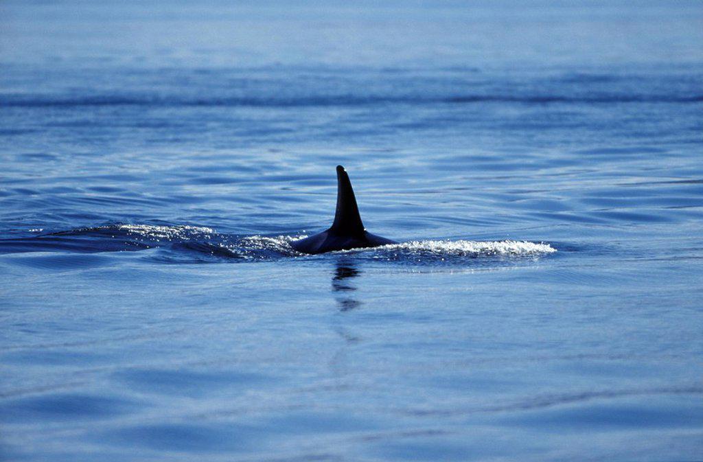 Stock Photo: 1575-8053 Orca, Killer Whales, Johnstone Straight, British Columbia, Canada