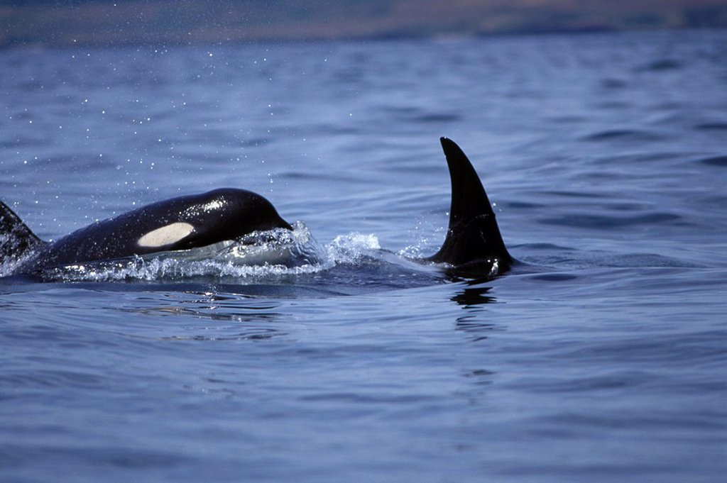 Orca, Killer whales in Haro Strait, off Vancouver Island, British Columbia, Canada : Stock Photo