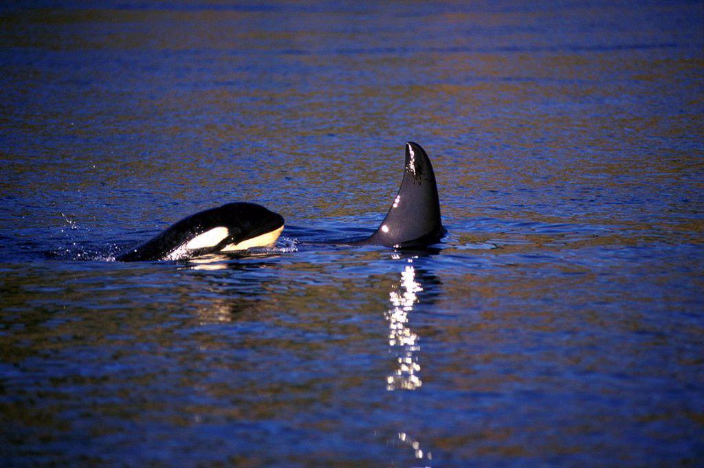 Orca, Killer whales off Victoria, Vancouver Island, British Columbia, Canada : Stock Photo