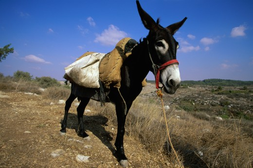 Stock Photo: 1578-278 Donkey standing in a landscape, Neot Kedumim, Israel