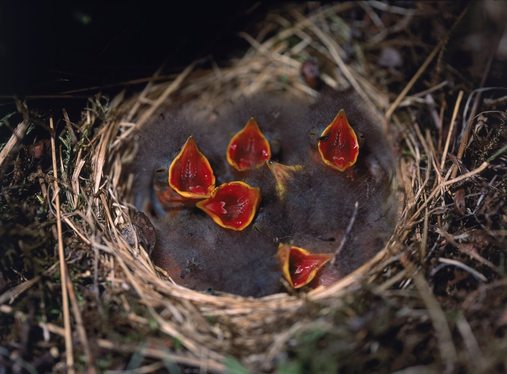 Stock Photo: 1580-174 High angle view of a group of young birds in a nest