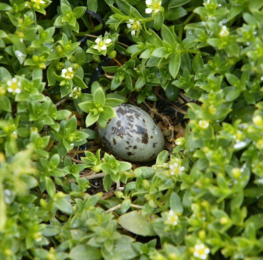 High angle view of an egg of Arctic Tern, Iceland (Sterna paradisaea) : Stock Photo