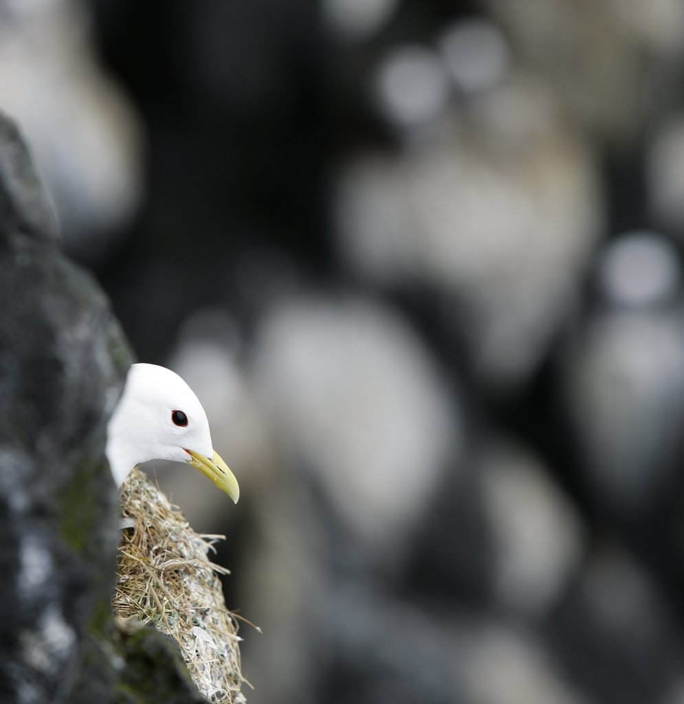 Stock Photo: 1580-231 Black Legged Kittiwake in its nest, Iceland (Rissa tridactyla)