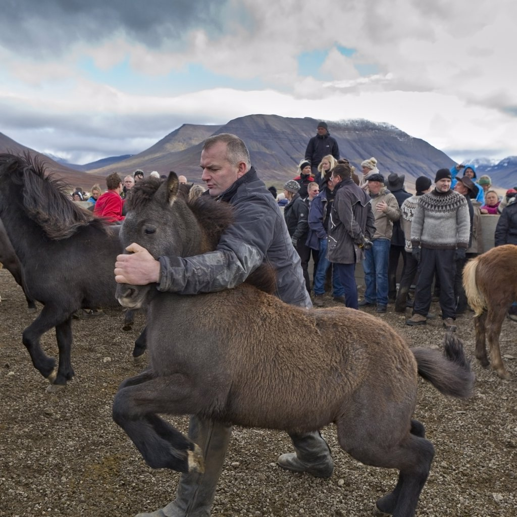 Annual horse round up at Laufskalarett, Skagafjordur, Iceland : Stock Photo