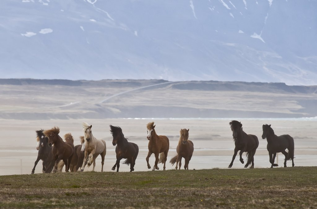 Herd of Icelandic horses running freely, Skagafjordur, Iceland : Stock Photo