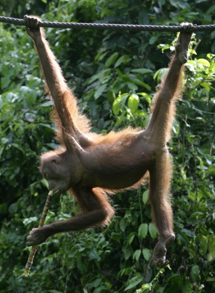 Close-up of a orangutan swinging on a rope (Pongo pygmaeus) : Stock Photo