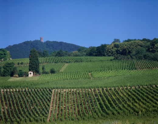 Stock Photo: 1581-248 High angle view of crops in a vineyard, Ribeauville, France